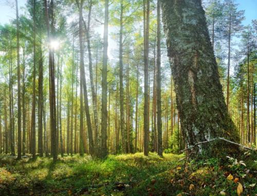 Mis mõjutab kõige enam metsamaa hinda ja raieõiguse hinda?